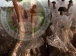 Chuyển giao công nghệ trồng nấm mối đen đạt chuẩn FDA